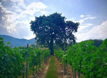Monsoon Valley Vineyard Sacred Fig Tree